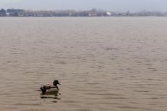Landscape with male duck in water. Mallard swims in the lake, male duck in water Royalty Free Stock Photos