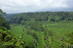 Landscape of many ricefields in Bali. It's a large view of many ricefields with forest parts in Bali royalty free stock photos