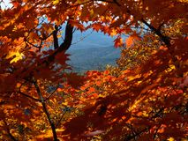 Landscape of maple forest. Autumn fall mountain landscape through maple leaves Royalty Free Stock Images