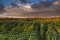 Landscape with marsh overgrown sedge Royalty Free Stock Photography