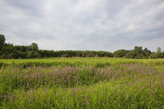 Landscape with marsh woundwort Royalty Free Stock Photo