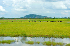 Landscape, Mekong Delta, buffalo, flooded rice field Royalty Free Stock Image