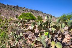 Landscape of the Mexican Desert. Hillside with Cactus in the Mexican desert San Luis Potosi stock images