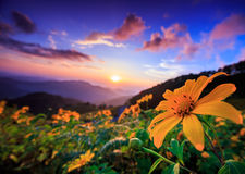Landscape of mexican sunflower field Stock Photo