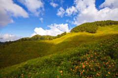 Landscape Mexican sunflower weed (Tithonia diversifolia) Royalty Free Stock Photo