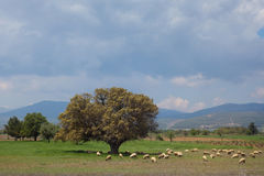 Landscape with mighty tree and sheeps Stock Photos