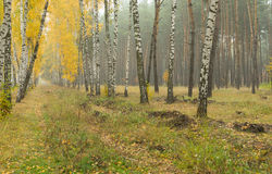 Landscape in misty pine birch forest in Ukraine Royalty Free Stock Images