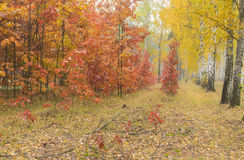 Landscape in moist maple and birch forest in Ukraine. Autumnal landscape in moist maple and birch forest in Ukraine royalty free stock photography