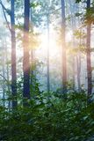 Landscape: morning in the woods. Sun rays penetrate through the trunks of trees_. Landscape: morning in the woods. Sun rays penetrate through the trunks of trees royalty free stock image