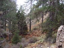 Cyprus. Troodos Mountains. Panorama of wild mountain forests at an altitude of 1900 meters above sea level. The landscape of a mountain forest on impassable royalty free stock images