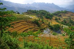 Landscape of mountain rice. In northern Vietnam, rice cultivation is difficult. For millennia men have turned the mountains and create their rice trellises Stock Photography