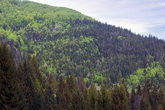 Landscape of a mountains with fir-tree Stock Images
