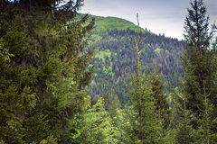 Landscape of a mountains with fir-tree and sky Royalty Free Stock Image