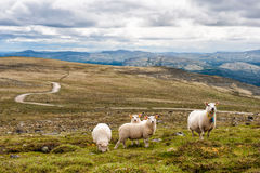 Landscape with mountains and sheep, Norway. Landscape with mountains, moss and mountain road and sheep, Norway Royalty Free Stock Image