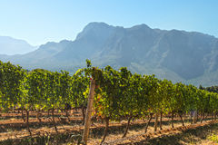 Landscape with mountains and vineyard Royalty Free Stock Photos