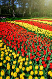 Landscape with multicolor tulips Royalty Free Stock Images