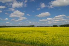 Landscape of multicolored field of yellow flowers, ripened to fa royalty free stock photo