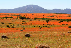 Landscape in namaqualand national park - blooming time of  african daisy Stock Images