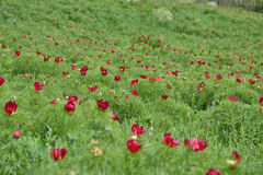 Landscape with a natural reserve of  peony (Paeonia peregrina). Stock Photos