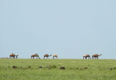 Landscape nature. Camels in the haze. Africa, Kenya. Stock Photography
