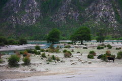 Landscape,Nature,China,Tibet. Sheep and cattle by Niyang River in Tibet Stock Photo