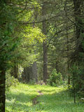 Landscape nature.  Coniferous forest. Royalty Free Stock Photo
