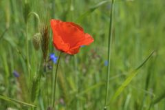Landscape nature- red poppy Stock Photos