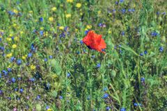 Landscape nature- red poppy Stock Photo