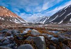 Landscape nature of the mountains of Spitzbergen Longyearbyen Svalbard on a polar day with arctic flowers in the summer. Wallpaper landscape nature of the Royalty Free Stock Image