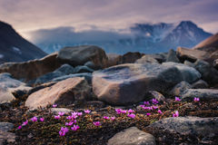 Landscape nature of the mountains of Spitzbergen Longyearbyen Svalbard on a polar day with arctic flowers in the summer. Wallpaper landscape nature of the Stock Photography