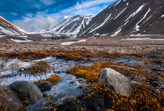 Landscape nature of the mountains of Spitzbergen Longyearbyen Svalbard on a polar day with arctic flowers in the summer. Wallpaper landscape nature of the Royalty Free Stock Photo