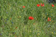 Landscape nature- red poppy Royalty Free Stock Photos