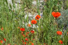Landscape nature- red poppy Royalty Free Stock Image