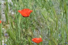 Landscape nature- red poppy Stock Photography