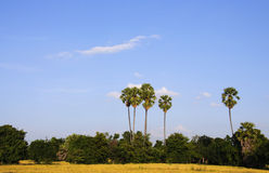 Landscape. Nature rice and tree in world Royalty Free Stock Image