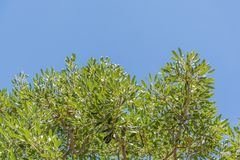 Trees and green leaves on clear sky background. Landscape nature of Trees and green leaves on clear sky background stock image