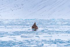 Landscape nature walrus on an ice floe of Spitsbergen Longyearbyen Svalbard arctic winter sunshine day stock photo