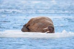 Landscape nature walrus on an ice floe of Spitsbergen Longyearbyen Svalbard arctic winter sunshine day royalty free stock photos