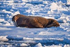 Landscape nature walrus on an ice floe of Spitsbergen Longyearbyen Svalbard arctic winter sunshine day stock photography