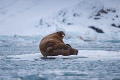 Landscape nature walrus on an ice floe of Spitsbergen Longyearbyen Svalbard arctic winter sunshine day. Norway landscape nature walrus on an ice floe of royalty free stock photo