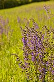Landscape near Erfurt with meadow sage flowers royalty free stock image