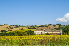 Landscape near Fermo. (Marches, Italy) - Sunflowers and old building Stock Images