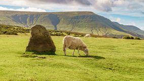 Landscape near Hay Bluff, Wales, UK. View over the landscape of the Brecon Beacons National Park with a sheep near the Stone circle and Twmpa, seen from Hay Stock Photo