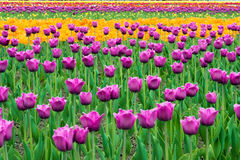 Landscape of Netherlands bouquet of purple and yellow tulips flo Royalty Free Stock Images