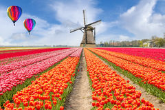 Landscape of Netherlands bouquet of tulips with hot air ballon. Colorful tulips. Tulips in spring and windmills in the Netherlands Stock Photo
