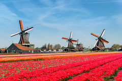 Landscape of Netherlands bouquet of tulips and windmills in the. Netherlands Royalty Free Stock Image