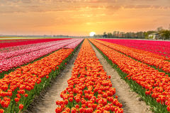 Landscape of Netherlands tulips with sunlight in Netherlands. Stock Photos