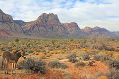 Wild burro in Red Rock Canyon Stock Photo