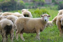 A group of sheep, The Catlins, South Island, New Zealand royalty free stock photo