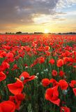 Landscape with nice sunset over poppy field stock image